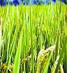 """水稻""""种""""出血清白蛋白或5年内可用上"""
